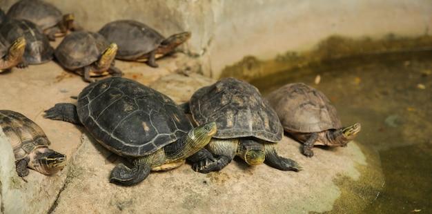 Chinesische streifenschildkröten haben schwarze gelbe streifen. asiatische dosenschildkröten, gelbe streifen