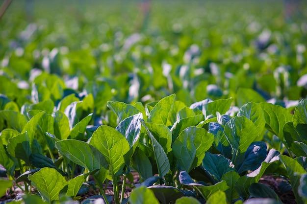Chinesischer kohl gepflanzt im garten