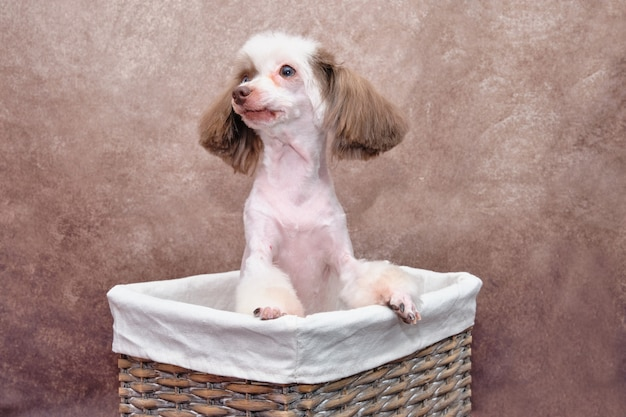 Chinesischer schopfhund, der in einem schönen rechteckigen rattankorb sitzt und wegschaut. jahrgang.