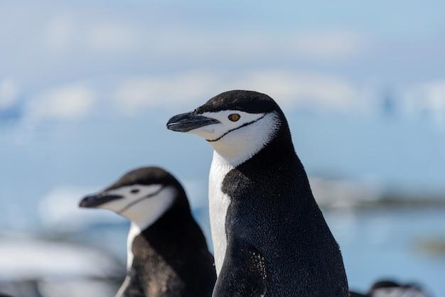 Chinstrap pinguin am strand in der antarktis hautnah