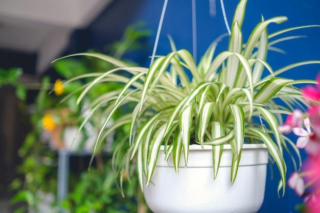 Chlorophytum comosum, spinnenpflanze im weißen hängenden topf / korb, luftreinigungsanlagen für haus, zimmerpflanze