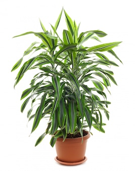 Chlorophytum - immergrüne mehrjährige blütenpflanzen