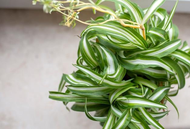 Chlorophytum zimmerpflanzenporträt. hausgarten-konzept. urban jungle thema.