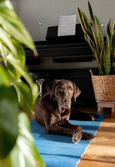 Chocolate labrador-stammbaumhund, der zu hause auf der matte liegt schöner ruhiger hund zu hause, der auf seine wartet
