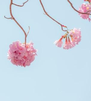Chompoo-pantip oder rosa pantip kirschblüte-blüte in thailand