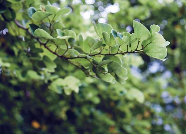 Chongkho oder lila orchideenbaum im gartengrün hinterlässt hintergrund
