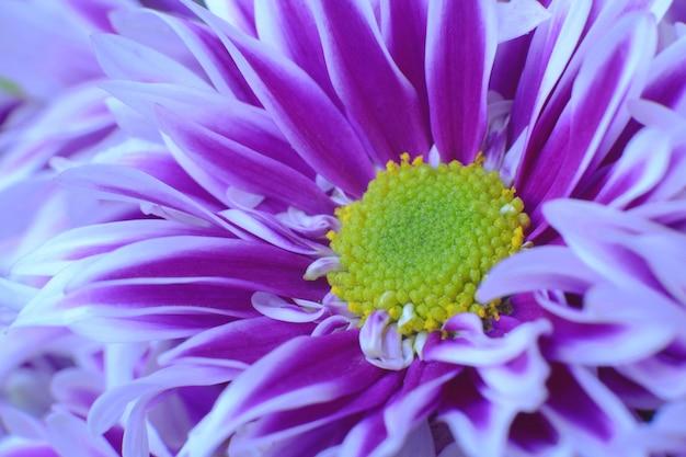 Chrysantheme hell lila blüten