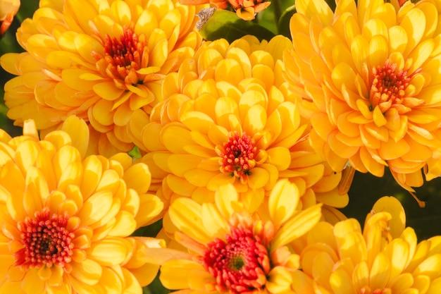 Chrysantheme mary bronze bicolor sunbeam