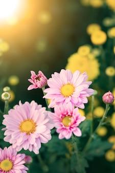 Chrysanthemen blühen mit sonnenuntergang