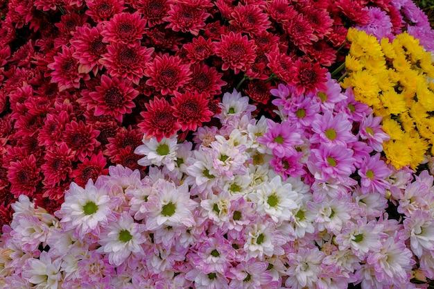 Chrysanthemen-gänseblümchenblume
