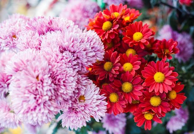 Chrysanthemen im botanischen garten. chrysanthemenblüten im herbst im garten.