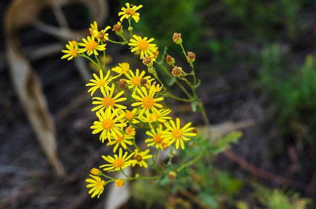 Chrysanthemen werden heute meist als dekorative pflanzen angebaut