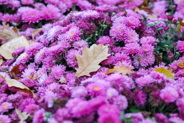 Chrysanthemenblüte mit eichenblatt