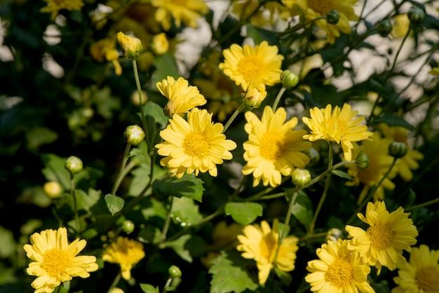 Chrysanthemenblüten blühen