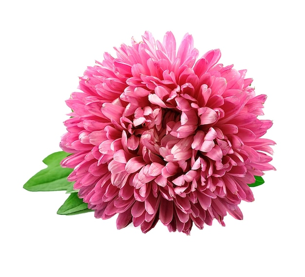 Chrysanthemenblüten isoliert. Premium Fotos