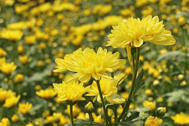 Chrysanthemenblume in tropischem