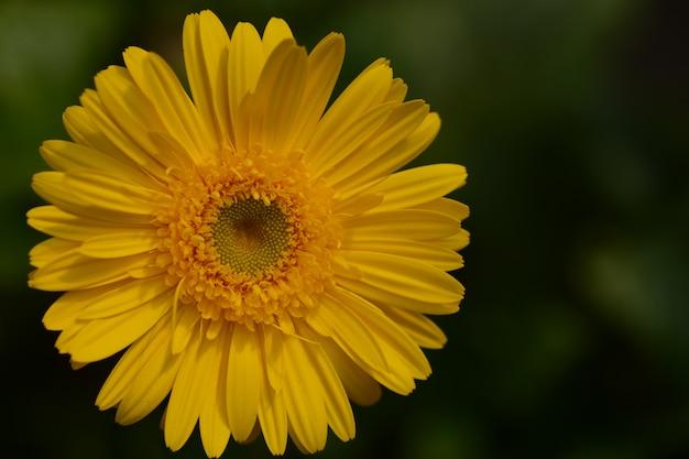 Chrysanthemenblume mit natürlichem hintergrund