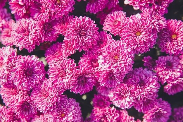 Chrysanthemenblumen, die im garten blühen. schönheit der herbstblumen.