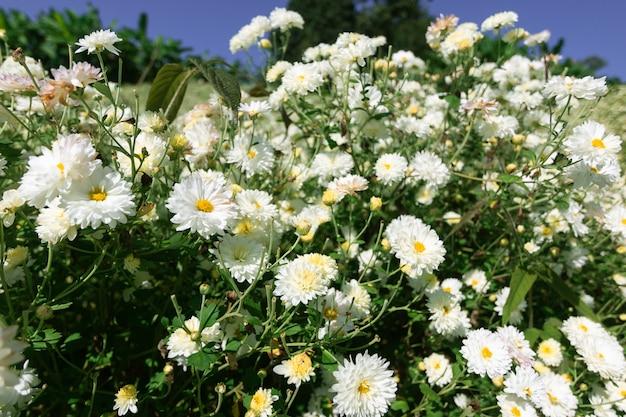 Chrysanthemenblumen mit grünen blättern auf dem baum