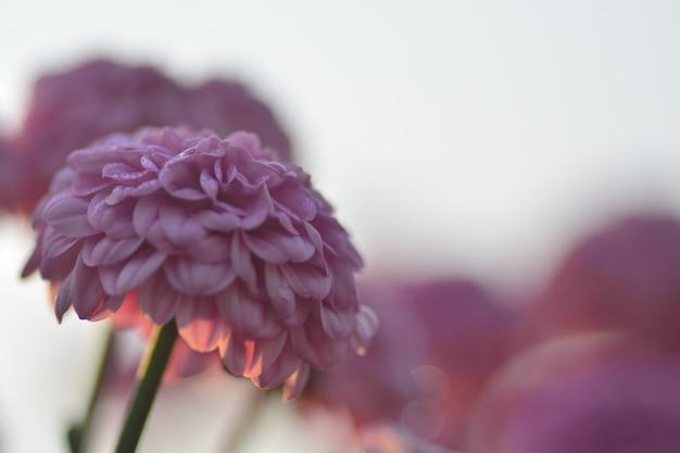 Chrysanthemenblumen mit unscharfem hintergrund