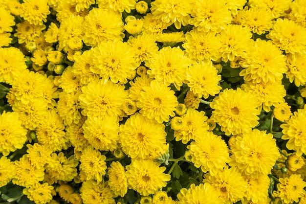 Chrysanthemenblumenhintergrund