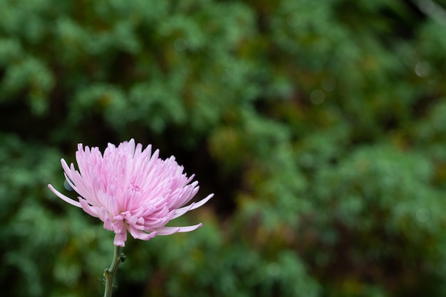 Chrysanthemenblumenmakro