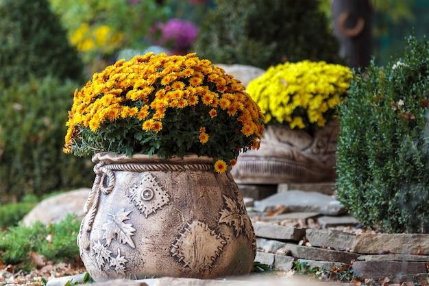 Chrysanthemenblumentopf im garten