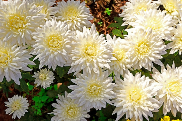 Chrysanthemenplantage