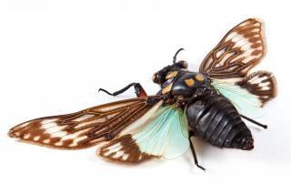 Cicadidae sp zikade bein