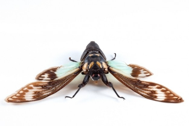 Cicadidae sp zikade