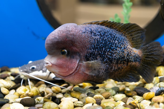 Cichlazoma rainbow oder vieja synspilum cichlasoma sensillum fisch schwimmt im aquarium