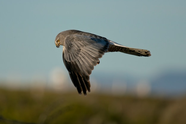 Cinereous harrier fliegen