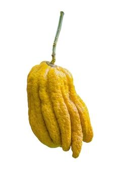 Citrus medica var sarcodactylus gefingerte zitrone von buddhas handfrucht duftet nach parfüm