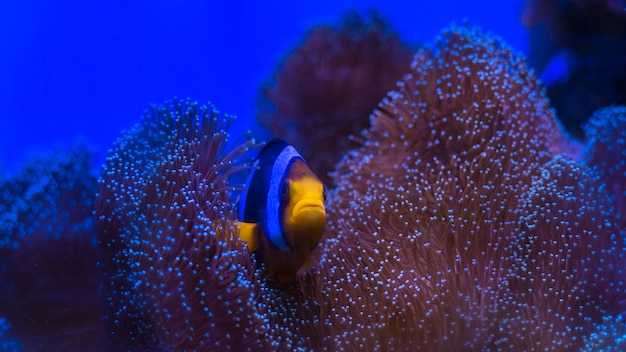 Clarks anemonenfisch, gelbschwanz-clownfisch