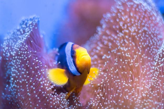 Clarks anemonenfisch, yellowtail clownfisch