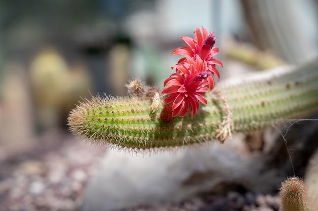 Cleistocactus samaipatanus (cardenas) dr jagd mit leuchtend roten blüten