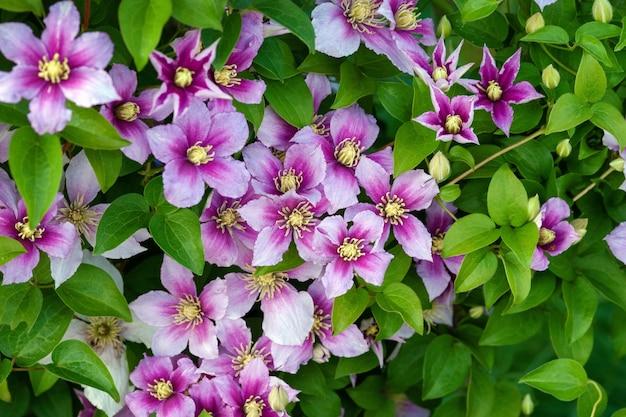 Clematis rosa lila blüten auf grünem blatthintergrund