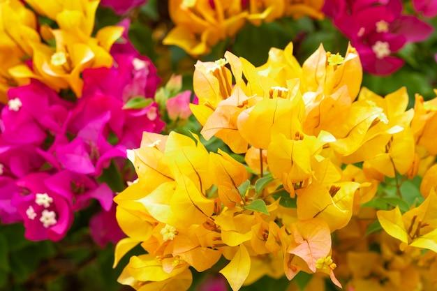Close up bougainvillea papierblume in bunten farben