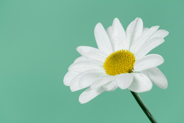 Close-up der schönen gänseblümchen