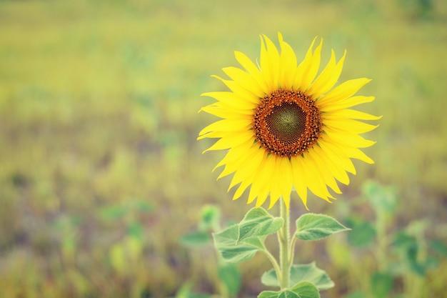 Close-up der sonnenblume mit unscharfen hintergrund