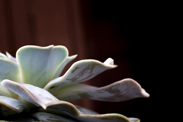 Close up foto von echeveria succulent, beliebte zimmerpflanze.