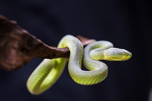 Close up gelblipped green pit viper schlange