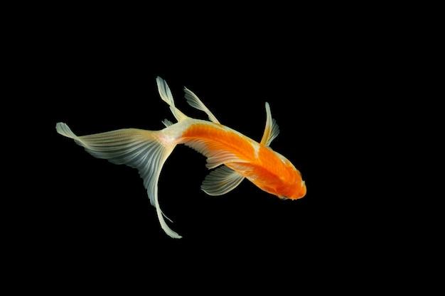 Close up kometenart goldfisch high angle shot schwarzen hintergrund