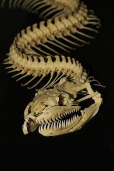 Close up schlangenknochen