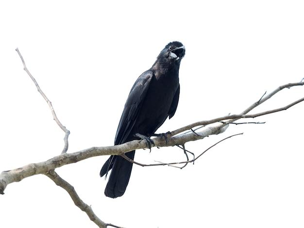 Close up schuss auf krähe, schwarzer vogel