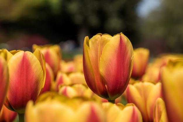 Closuep schuss von schönen gelben und roten tulpen, die im feld wachsen