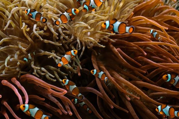 Clown-anemonenfisch amphiprion ocellaris