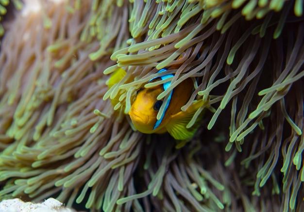Clown-anemonenfisch, amphiprion percula, schwimmt zwischen den tentakeln seines anemonenhauses.