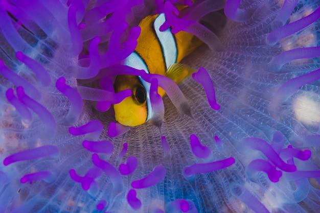 Clownfisch auf anemone