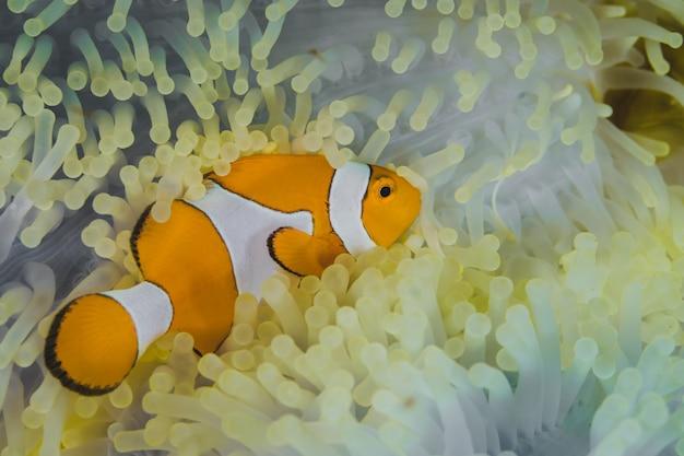 Clownfisch, der aus einer anemone herauskommt.